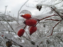 Frozen branches of wild rose hips Royalty Free Stock Image