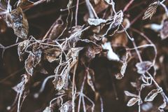 Frozen branches and withered leaves Royalty Free Stock Images