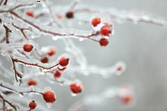 Frozen briar Stock Photography