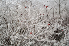 A frozen briar bush. Covered with white snow in sunny winter day in Armenia Stock Photo