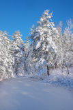 Frozen brook going past fresh snow covered pine trees the mornin royalty free stock photography