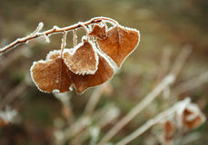 Frozen brown autumn leaves covered with frost closeup Royalty Free Stock Images