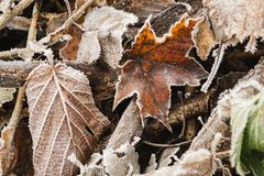 Frozen brown leaf on the leaves background. Autumn brown leaves lay frozen in the november garden on the brown background Royalty Free Stock Photography