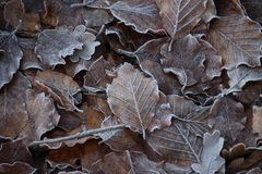 Frozen brown leaves at the forest of the Grebberberg in Rhenen in the netherlands. Frozen brown leaves at the forest of the Grebberberg in Rhenen in the royalty free stock image