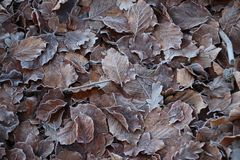 Frozen brown leaves at the forest of the Grebberberg in Rhenen in the netherlands. Frozen brown leaves at the forest of the Grebberberg in Rhenen in the stock images