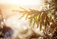Frozen brunch pine in winter sunny day. Royalty Free Stock Image