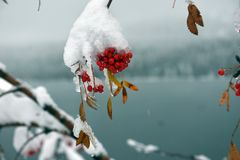 Brunches of rowan berries under snow stock image
