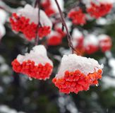 Brunches of rowan berries under snow stock images