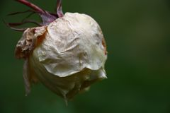 The frozen bud. The late bud of a white rose has frozen at the first frost and has hung stock photo