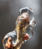 Frozen bud. Tip of a tree branch that is covered in thick ice stock image