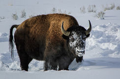 Frozen. A buffalo looks up after using his strong neck to plow through the snow in search of food.  Yellowstone national park in winter Royalty Free Stock Images