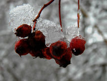 Frozen bunch of mountain ash in the ice in winter Royalty Free Stock Images