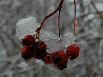 Frozen bunch of mountain ash in the ice in winter Royalty Free Stock Photography