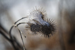 Frozen Burdock Stock Image