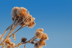 Frozen burdock burs 2 Royalty Free Stock Photos