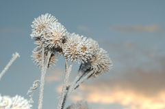Frozen burdock burs Stock Image
