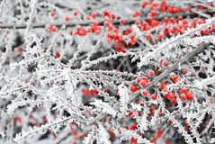 Frozen bush Royalty Free Stock Photos