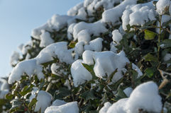Frozen bush branch covered with snow close up view. White frozen branches with frost and snow against the sky in winter. Frosty sunny day in December for Royalty Free Stock Photos