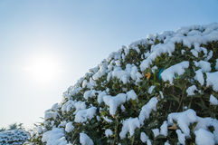 Frozen bush branch covered with snow. White frozen branches with frost and snow against the sky in winter. Frosty sunny day in December for Christmas Royalty Free Stock Image