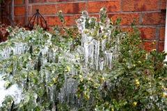 Frozen Bush Stock Photo