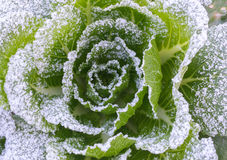 Frozen cabbage Stock Image