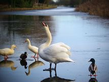 A Swansong On The Ice stock photography
