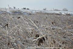 Frozen cane Stock Photo