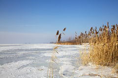Frozen cane on river in winter Stock Photos