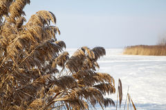 Frozen cane in winter Royalty Free Stock Image