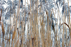 Frozen cane Royalty Free Stock Photography