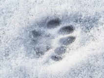 Frozen cat footprint close up on surface of snow stock image