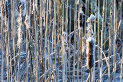 Frozen Cattai Stock Photos