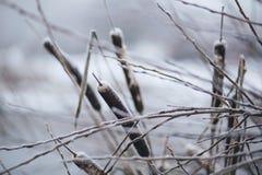 Frozen cattails Stock Photos