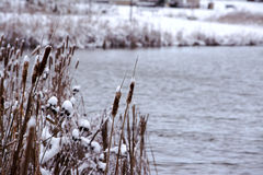 Frozen Cattails by the lake Stock Images