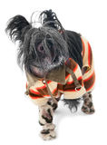 Frozen chinese crested dog Royalty Free Stock Photography