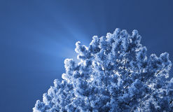Frozen christmas tree Royalty Free Stock Images