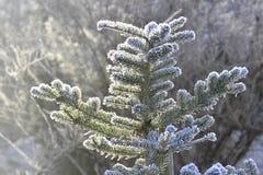 Frozen christmastree. With sun light ia winter garden Royalty Free Stock Photos