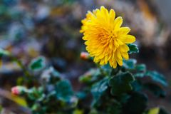 Yellow chrysanthemum flower with frozen petals. Frozen chrysanthemum yellow flower. Flower of chrysanthemum with frozen buds on green background. Chrysanthemum royalty free stock image