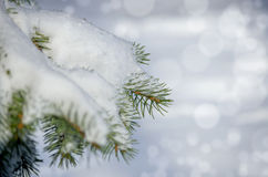 Frozen coniferous branches covered with winter snow. Stock Image