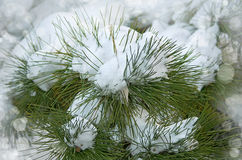 Frozen coniferous branches covered with winter snow. Trendy selective focus with shallow depth of field. Stock Photo