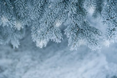 Frozen coniferous branches in white winter Stock Photos