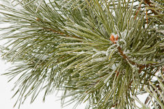 Frozen coniferous pine branch Stock Photos