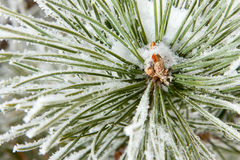 Frozen coniferous pine branch Stock Photo