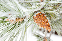 Frozen coniferous pine branch with cone Stock Photos