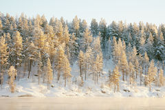 Frozen coniferous wood covered with snow Stock Photos