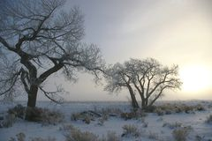 Frozen Cottonwoods Stock Images
