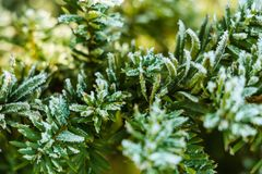 Frozen and covered with frost pine tree branch on an early winter morning, close up view royalty free stock photo