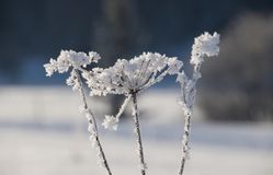 A frozen cow parsley plant. stock image