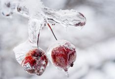 Frozen crab apples on icy branch Stock Photo