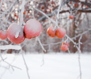 Frozen crab apples Royalty Free Stock Photos